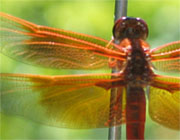 Dragonfly - 2004 - photo bobbi wisby