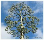 Agave flower buds